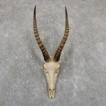 Blesbok Skull Horn European Mount For Sale #19518 @ The Taxidermy Store