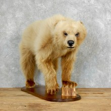 Blonde Black Bear Life-Size Mount For Sale #18215 @ The Taxidermy Store