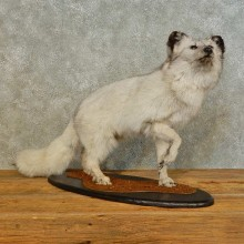 Blue Marble Fox Taxidermy Mount For Sale