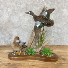 Blue Winged Teal Hen & Drake Duck Taxidermy Bird Mount For Sale