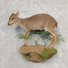 Blue Duiker Life-Size Mount For Sale #21159 @ The Taxidermy Store