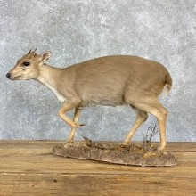 Blue Duiker Life-Size Mount For Sale #23181 @ The Taxidermy Store