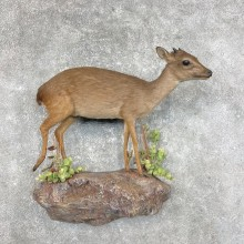 Blue Duiker Life-Size Mount For Sale #25329 @ The Taxidermy Store