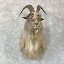 Blue Goat Shoulder Mount For Sale #25141 @ The Taxidermy Store