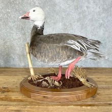 Blue Goose Bird Mount For Sale #24220 @ The Taxidermy Store