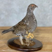 Blue Grouse Bird Mount For Sale #21760 @ The Taxidermy Store