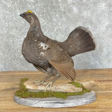 Blue Grouse Taxidermy Bird Mount For Sale
