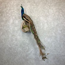 Blue Indian Peacock Bird Mount For Sale #22994 @ The Taxidermy Store
