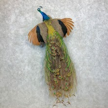 Blue Indian Peacock Bird Mount For Sale #23375 @ The Taxidermy Store