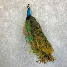 Blue Indian Peacock Taxidermy Bird Mount For Sale