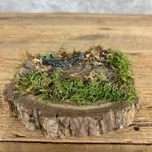 Blue Spotted Salamander Taxidermy Mount For Sale #21577 @ The Taxidermy Store