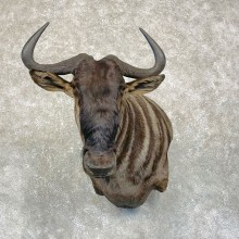 Blue Wildebeest Wall Pedestal Mount For Sale #24990 @ The Taxidermy Store