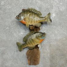 Bluegill Fish Mount For Sale #17776 @ The Taxidermy Store