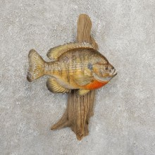 Bluegill Taxidermy Fish Mount #20913 For Sale @ The Taxidermy Store