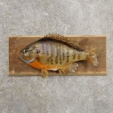 Bluegill Taxidermy Fish Mount #20950 For Sale @ The Taxidermy Store