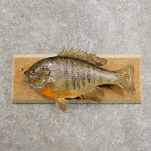 Bluegill Taxidermy Fish Mount #20951 For Sale @ The Taxidermy Store