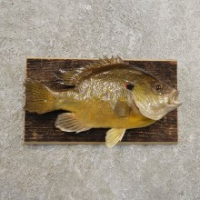 Bluegill Taxidermy Fish Mount #20952 For Sale @ The Taxidermy Store