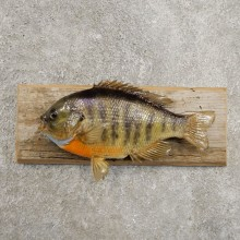 Bluegill Taxidermy Fish Mount #20955 For Sale @ The Taxidermy Store