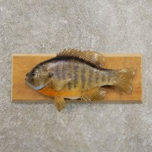 Bluegill Taxidermy Fish Mount #20958 For Sale @ The Taxidermy Store