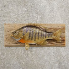Bluegill Taxidermy Fish Mount #20959 For Sale @ The Taxidermy Store