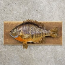 Bluegill Taxidermy Fish Mount #20962 For Sale @ The Taxidermy Store