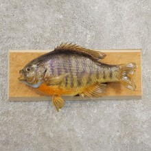Bluegill Taxidermy Fish Mount #20977 For Sale @ The Taxidermy Store