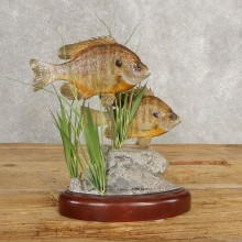 Bluegill Taxidermy Fish Mount #21037 For Sale @ The Taxidermy Store