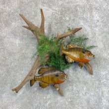 Bluegill Taxidermy Fish Mount #22047 For Sale @ The Taxidermy Store