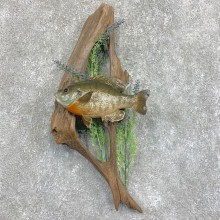 Bluegill Taxidermy Fish Mount #22050 For Sale @ The Taxidermy Store