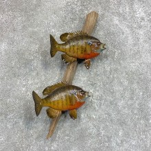 Bluegill Taxidermy Fish Mount #22053 For Sale @ The Taxidermy Store