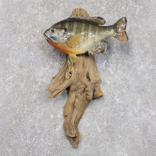 Bluegill Taxidermy Fish Mount #22280 For Sale @ The Taxidermy Store
