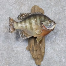 Bluegill Taxidermy Fish Mount #22282 For Sale @ The Taxidermy Store