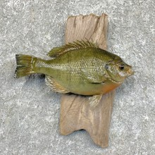 Bluegill Taxidermy Fish Mount #23620 For Sale @ The Taxidermy Store