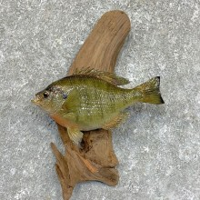 Bluegill Taxidermy Fish Mount #23621 For Sale @ The Taxidermy Store