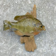 Bluegill Taxidermy Fish Mount #23622 For Sale @ The Taxidermy Store