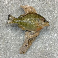 Bluegill Taxidermy Fish Mount #23623 For Sale @ The Taxidermy Store