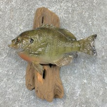 Bluegill Taxidermy Fish Mount #23625 For Sale @ The Taxidermy Store