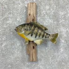 Bluegill Taxidermy Fish Mount #23646 For Sale @ The Taxidermy Store