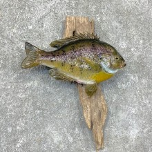 Bluegill Taxidermy Fish Mount #23647 For Sale @ The Taxidermy Store