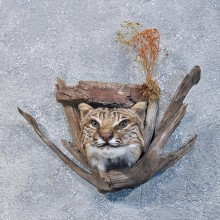 Wall Hanging Bobcat Head Mount #10108 For Sale @ The Taxidermy Store