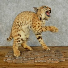 Bobcat Life-Size Mount For Sale #16036 @ The Taxidermy Store