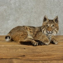 Bobcat Life-Size Mount For Sale #16233 @ The Taxidermy Store