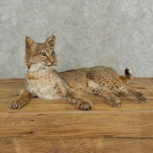 Bobcat Life-Size Mount For Sale #16832 @ The Taxidermy Store