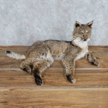 Laying Bobcat Life Size Mount #13546 For Sale @ The Taxidermy Store