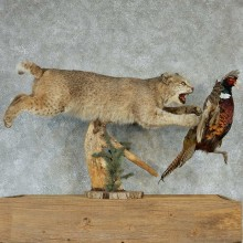 Bobcat & Pheasant Life-Size Taxidermy Mount #13288 For Sale @ The Taxidermy Store