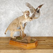 Bobcat And Chukar Life-Size Mount For Sale #19459 @ The Taxidermy Store