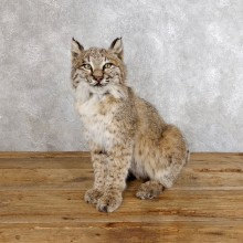 Bobcat Life-Size Mount For Sale #18557 @ The Taxidermy Store
