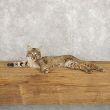 Bobcat Life-Size Mount For Sale #18794 @ The Taxidermy Store