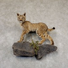 Bobcat Life-Size Mount For Sale #18911 @ The Taxidermy Store