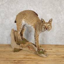 Bobcat Life-Size Mount For Sale #20224 @ The Taxidermy Store
